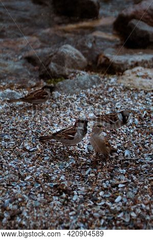 Group Of Brown Feather Sparrows Perched On A Sea Rocks. Little Bird. Small Sparrow. Urban Bird. Wild