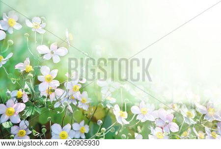 First autumn Japanese Anemone flower (Anemone hupehensis). Sunny fall background flowers on flowerbed. Horizontal summer banner. Copy space for text