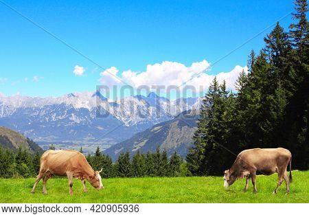 Two cows grazing in a mountain meadow in Alps mountains, Tirol, Austria. View of idyllic mountain scenery in Alps with green grass and red cows on sunny day. European mountain landscape