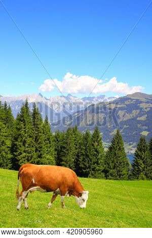Cow grazing in a mountain meadow in Alps mountains, Tirol, Austria. View of idyllic mountain scenery in Alps with green grass and red cow on sunny day. European mountain landscape