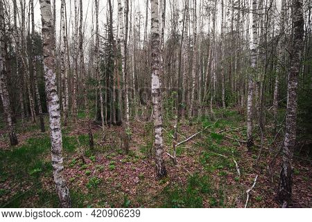 Forest Landscape In Early Spring. Mystic Birch Forest In Overcast Weather.