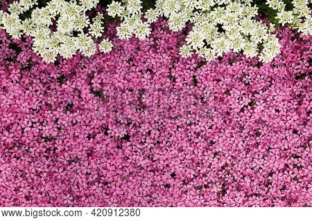 Moss Pink, Creeping Phlox Or Phlox Subulata Flowers Background Close Up, Top View.