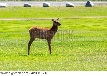 A White-tailed Deer In Yellowstone National Park, Wyoming