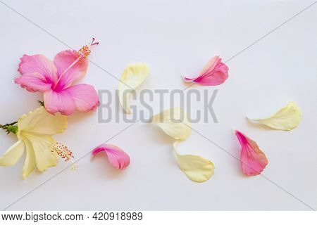 Pink, White Flowers Hibiscus Local Flora Of Asia Arrangement Flat Lay Postcard Style On Background W