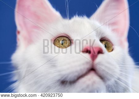 Close-up Portrait Of Longhair Cat Breed Maine Coon Cat. White Color Female American Forest Cat Looki