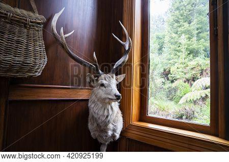 Rotorua New Zealand - May 8 2021; Trophy Animal Head Of Deer And Antlers Mounted And Standing Corner
