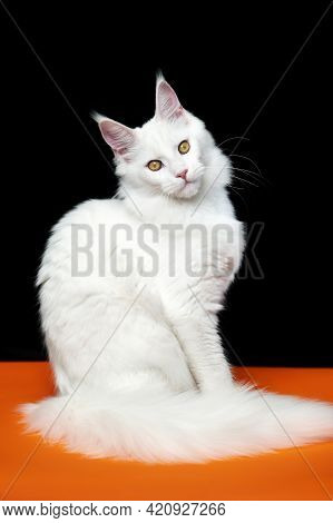 Beautiful Animal American Forest Cat With Long Fluffy Tail Sitting On Orange And Black Background. W