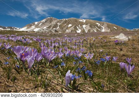Spring View Of Gran Sasso And Monti Della Laga National Park With Flowering Of Crocus Vernus In Abru