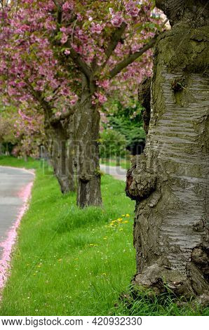 Falling Cherry Petals Cover Cars, Roads And Sidewalks With A Pink Layer Of Petals. In The Corners Th