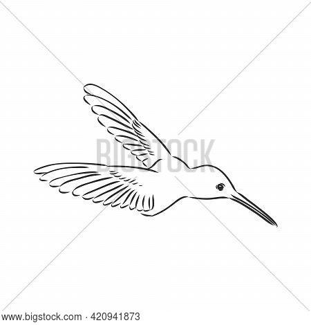 Zentangle Style Hummingbird Vector. Hummingbird Vector Sketch
