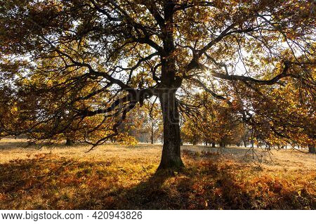 Majestic Oak Tree With Large Branches Growing On A Meadow In Autumn.