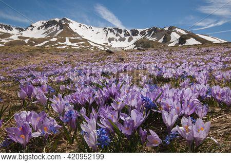 Magic Flowering Of Purple Crocus Vernus In The Italian Mountains, Abruzzo, Italy
