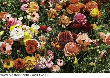 Field Of Multicolored Flowers Ranunculus Asiaticus Persian Buttercups