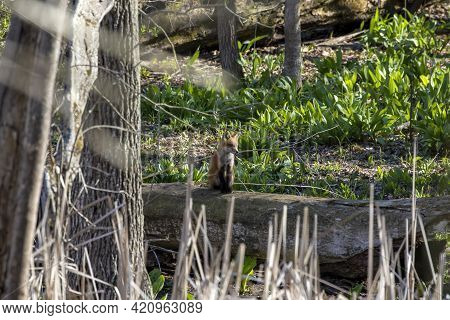 The Red Fox (vulpes Vulpes) , Small, Young Fox Near The Burrow.