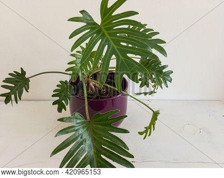 Philodendron Xanadu Air Purifier Plant Close Up