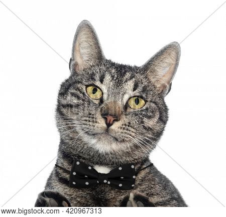 Cool cat pet with bow tie portrait isolated on white background