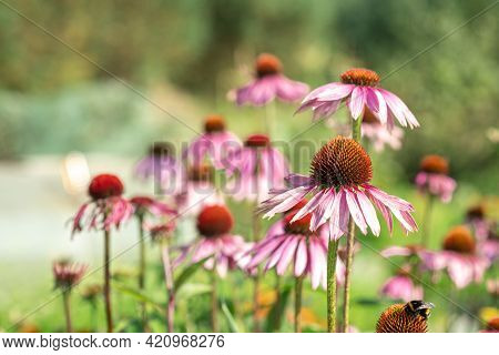 Echinacea Purpurea In Garden. Medicinal Flower To Enhance Immunity. Selective Focus - Image