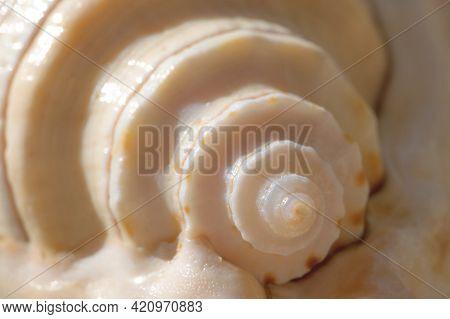 Beautiful Seashell Close-up. Spiral Seashells Macro Background