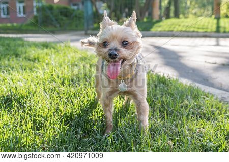 Small Yorkshire Terrier Dog Stands On A Green Lawn With His Tongue Out From The Heat. Walking The Do