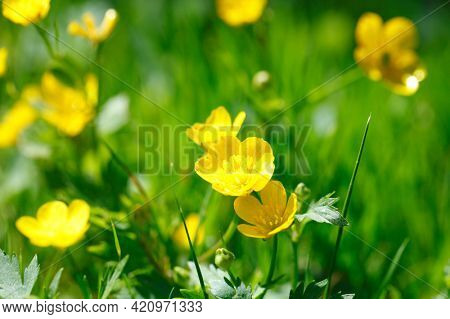 Yellow meadow buttercup flowers in green grass close up