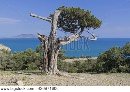 An Old, Half-withered Relict Treelike Juniper (juniperus Excelsa) On The Side Of A Coastal Mountain.