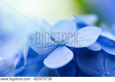 Beautiful soft blue Hydrangea (Hydrangea macrophylla) or Hortensia flower with incoming light in background.  Shallow depth of field for soft dreamy feel.