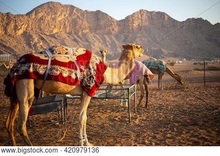 Dromedary Camels (camelus Dromedarius) Farm In The Rocky Hajar Mountains In Sharjah, United Arab Emi