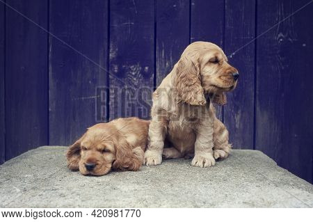 The Cute Puppies Of The English Cocker Spaniel Lies On A Large Rock In The Garden. Lovely Baby Dogs