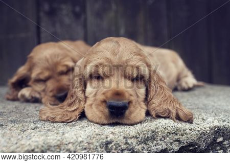 The Cute Puppies Of The English Cocker Spaniel Lies On A Large Rock In The Garden. Lovely Dogs On St