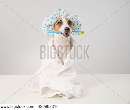 Portrait Of A Dog Jack Russell Terrier In A Shower Cap And A Towel Holding A Toothbrush In His Mouth
