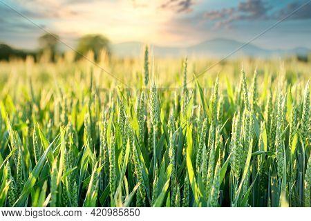Wheat Field, Unripe Green Wheat Field In Late Afternoon, Beautiful Landscape
