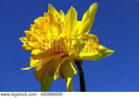 One Large Yellow Terry Daffodil Against The Blue Sky, Close Up