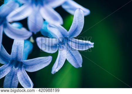 Close Up Macro View Of A Beautiful Blue Cyan Hyacinth Flower Over Lilac Background With Soft Selecti