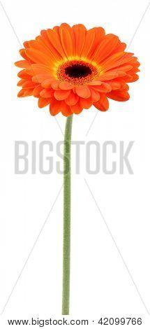 Beauty orange herbera