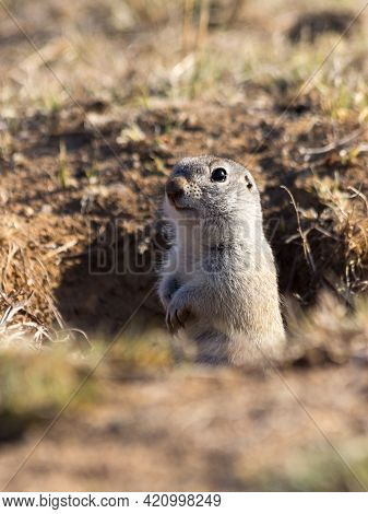 Cute Gopher Or Ground Squirrel Looking Out From His Hole. Wildlife Or Earth Day Concept.