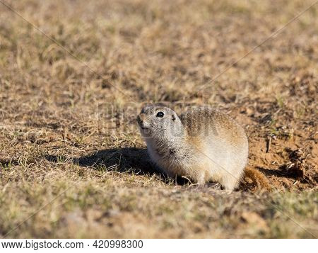 Cute Gopher Or Ground Squirrel On The Field. Wildlife Or Earth Day Concept.