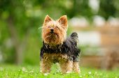 A cute shabby Yorkshire Terrier standing on green grass in summer poster