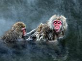 Snow Monkey at Jigokudani near Nagano Japan poster
