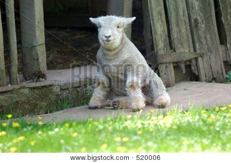Lamb14