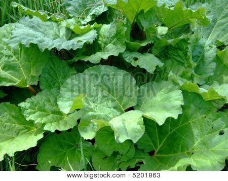 Rhubarb Close Up