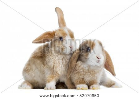 Two Satin Mini Lop rabbits next to each other, isolated on white