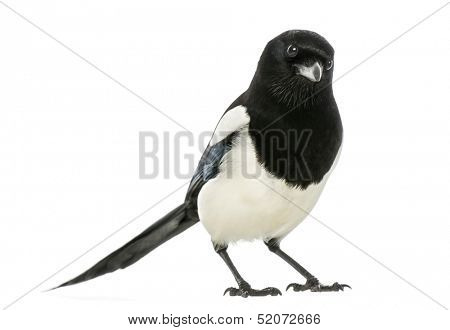 Common Magpie looking at the camera, Pica pica, isolated on white