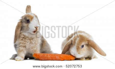 Two Satin Mini Lop rabbits eating a carrot, isolated on white