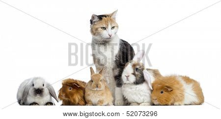 European shorthair with rabbits and Guinea pigs in a row, isolated on white