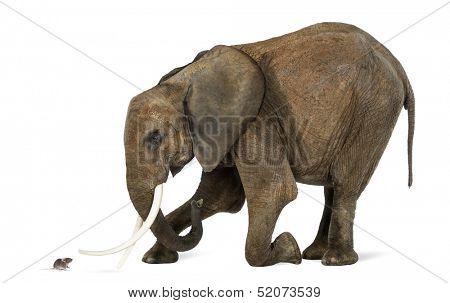 Afrikanischer Elefant vor einer Maus, isoliert auf weiss kniend