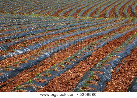 Strips In Field Protected With Plastic Cover