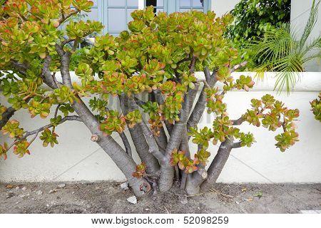 Portulacaria Afra Plant
