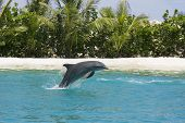 dolphin jumping out of water ** Note: Slight blurriness, best at smaller sizes poster