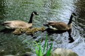 a perfect geese family. a family of 8 is having fun swimming in a pond poster