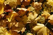 Autumn background from the yellow maple leaves close up which have fallen down on the earth poster